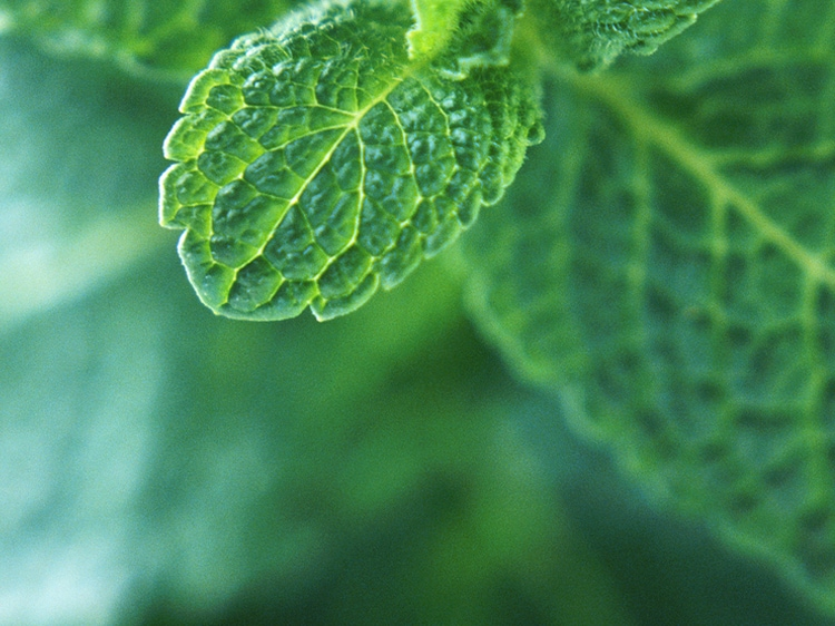 closeup of mint leaf